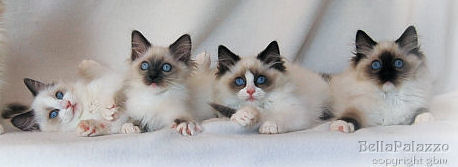 Ragdoll kittens in blue bicolor, blue mitted, seal bicolor and seal mitted