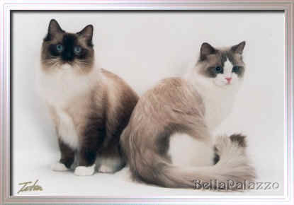Seal point mitted Ragdoll cat and Blue point bicolor Ragdoll cat